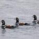 Harlekijneeind - Harlequin duck 09