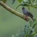 Zwarte-buulbuul-Malagasy-bulbul-02