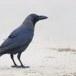 Huiskraai - House Crow 09