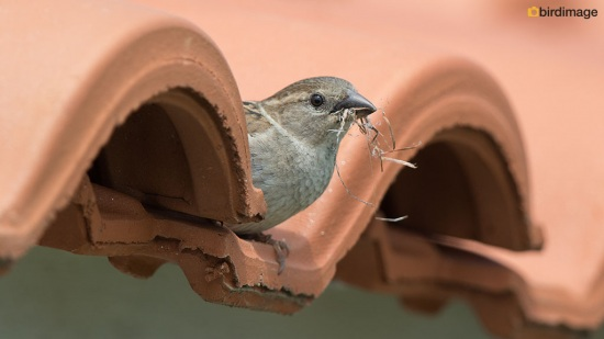 Huismus - House Sparrow 12