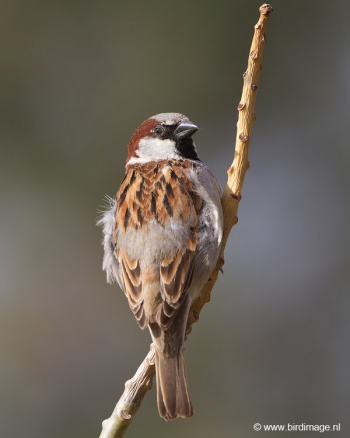 huismus-house-sparrow-09