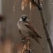 huismus-house-sparrow-02