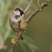 huismus-house-sparrow-03