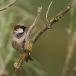 huismus-house-sparrow-04
