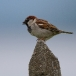 huismus-house-sparrow-07