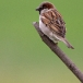 huismus-house-sparrow-08