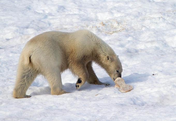 ijsbeer-polar-bear-29