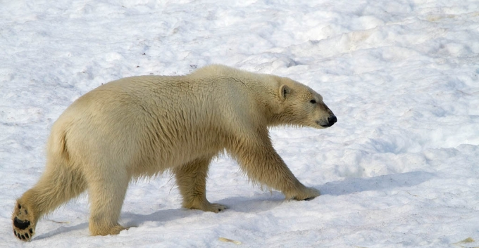ijsbeer-polar-bear-28