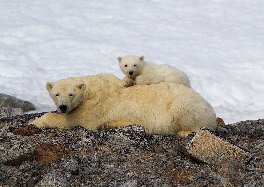 leven ijsberen in groepen