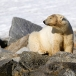 ijsbeer-polar-bear-02