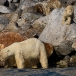 ijsbeer-polar-bear-03