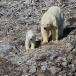 ijsbeer-polar-bear-05