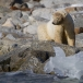 ijsbeer-polar-bear-06
