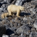 ijsbeer-polar-bear-07