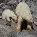 Ijsbeer – Polar Bear