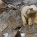 ijsbeer-polar-bear-15