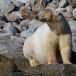ijsbeer-polar-bear-18