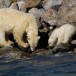 ijsbeer-polar-bear-19