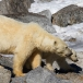 ijsbeer-polar-bear-21