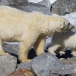 ijsbeer-polar-bear-22