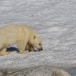 ijsbeer-polar-bear-23
