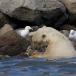 ijsbeer-polar-bear-25