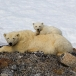ijsbeer-polar-bear-27
