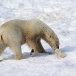 ijsbeer-polar-bear-29
