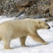 ijsbeer-polar-bear-30