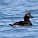 ijseend-long-tailed-duck-01