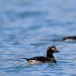 ijseend-long-tailed-duck-02