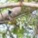 Indiase-paradijsmonarch-Indian-paradise-flycatcher-02