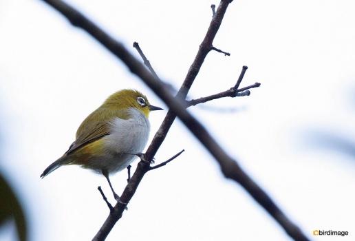 Indische-brilvogel-Oriental-white-eye-01