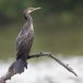 Indische-aalscholver-Indian-cormorant-01