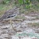 Indische-griel-Indian-stone-curlew-01