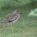Indische-griel-Indian-stone-curlew-02