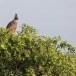 Indische-kuifarend-Changeable-hawk-eagle-01