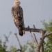 Indische-kuifarend-Changeable-hawk-eagle-02