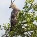 Indische-kuifarend-Changeable-hawk-eagle-03