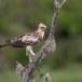 Indische-kuifarend-Changeable-hawk-eagle-04