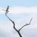 Indische-kuifarend-Changeable-hawk-eagle-05