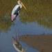 Indische-nimmerzat-Painted-stork-01
