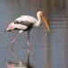 Indische-nimmerzat-Painted-stork-05