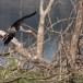 Indische-nimmerzat-Painted-stork-06