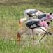 Indische-nimmerzat-Painted-stork-07
