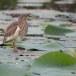 Indische-ralreiger-Indian-pond-heron-03