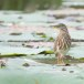 Indische-ralreiger-Indian-pond-heron-04