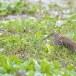 Indische-ralreiger-Indian-pond-heron-05