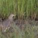 Indische-ralreiger-Indian-pond-heron-07