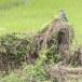 Indische-scharrelaar-Indian-roller-06